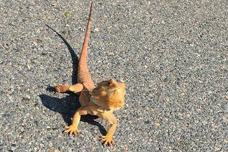 A lizard in Roslindale