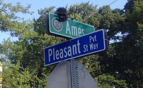 Raccoon stuck on a traffic sign in Dedham