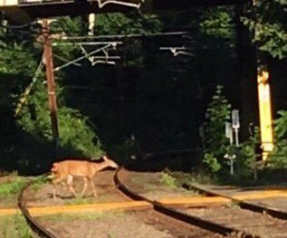 Deer on Green Line tracks in Newton
