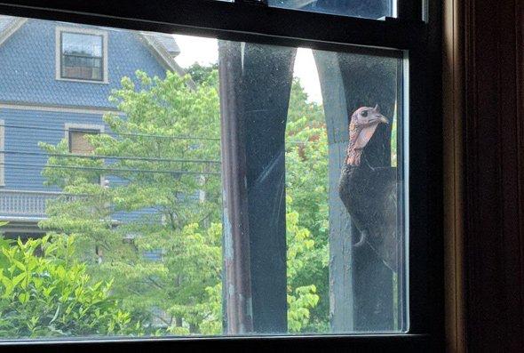 Turkey staring in a window