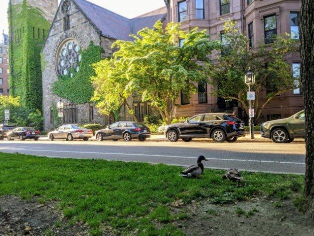 Ducks in the Back Bay