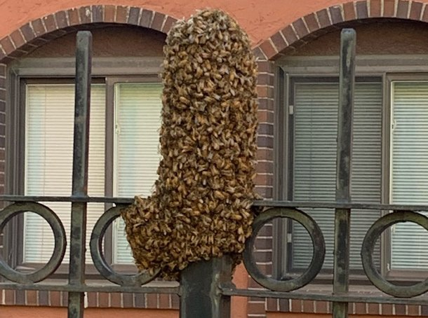 Bees swarming an iron pole in the North End