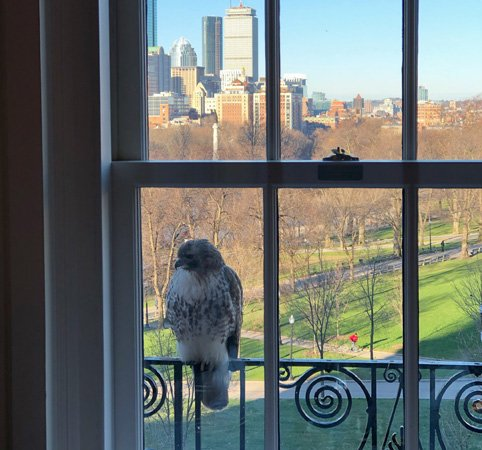 Hawk at a window