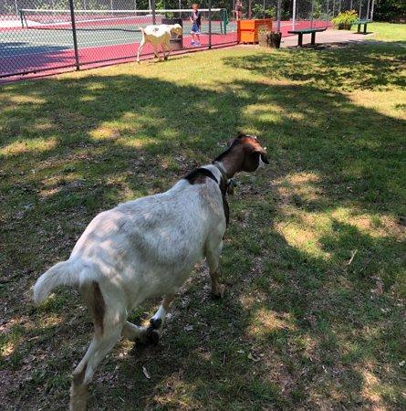 Free-range goats at Dorchester Park