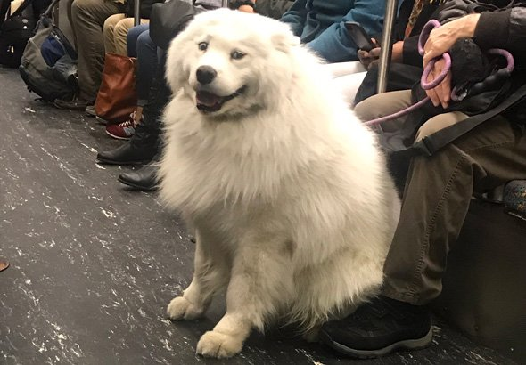 Big fluffy dog on the Red Line
