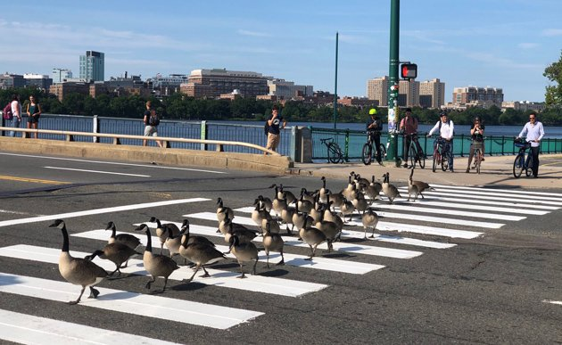 Geese crossing in a crosswalk on Memorial Drive in Cambridge