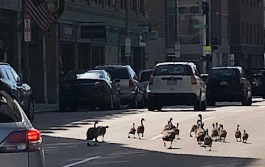 Goslings on East Berkeley Street in the South End