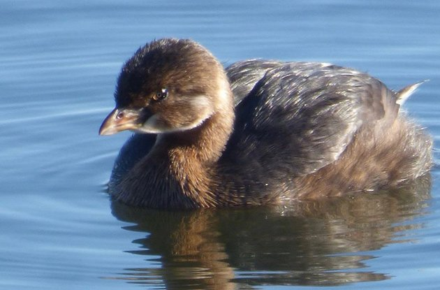 Pied-billed grebe in Jamaica Pond