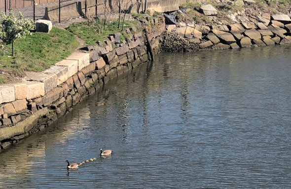 Geese in Fort Point Channel