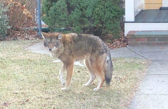 Limping coyote of West Roxbury