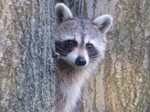 Raccoon on Mission Hill