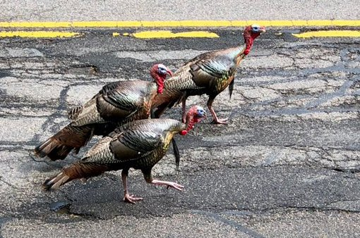 Moss Hill turkeys