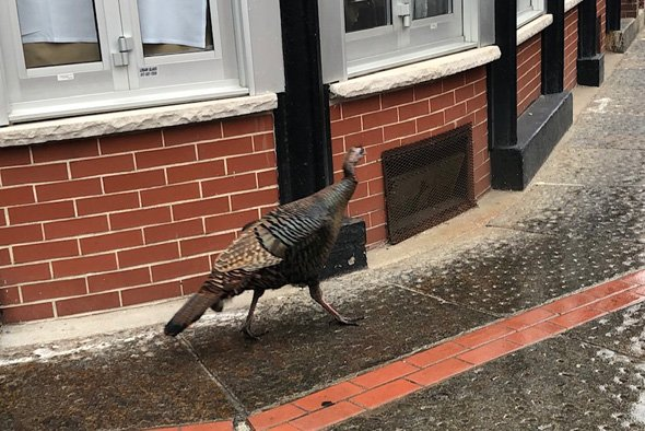 Turkey in the North End