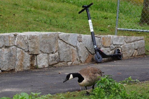 Goose and Bird scooter at Jamaica Pond