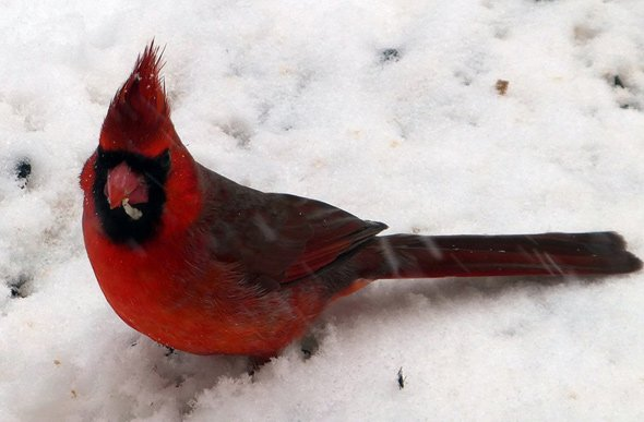 Cardinal in the snow in Hyde Park