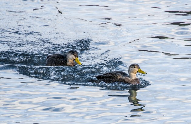 Two ducks on Boston Harbor