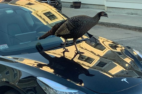 Turkey on a Tesla