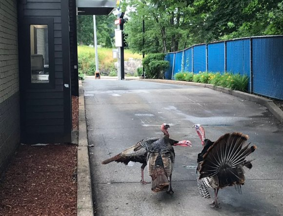 Turkeys at Burger King drive thru in Roslindale