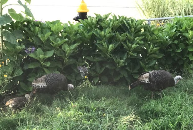 Turkey family in South Boston