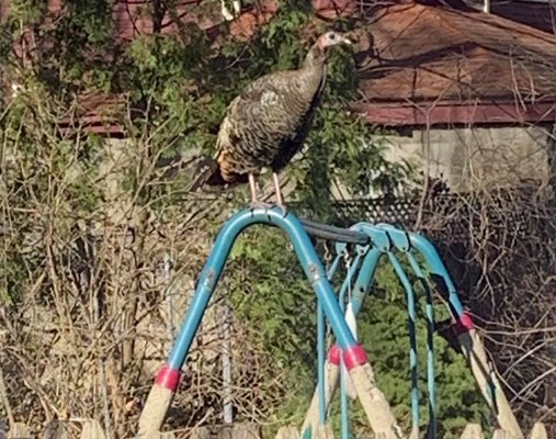 Turkey atop swings in Allston