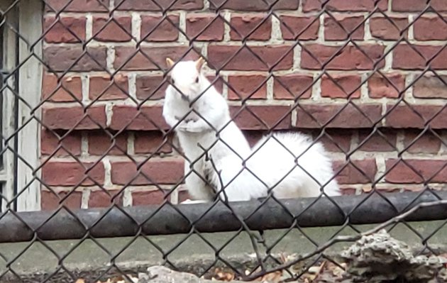 White squirrel on Hawkins Street