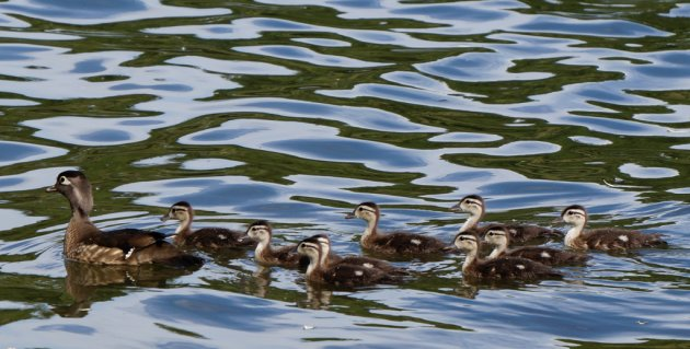 Wood ducks in Jamaica Pond