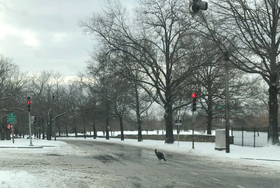 Turkey on VFW Parkway in West Roxbury