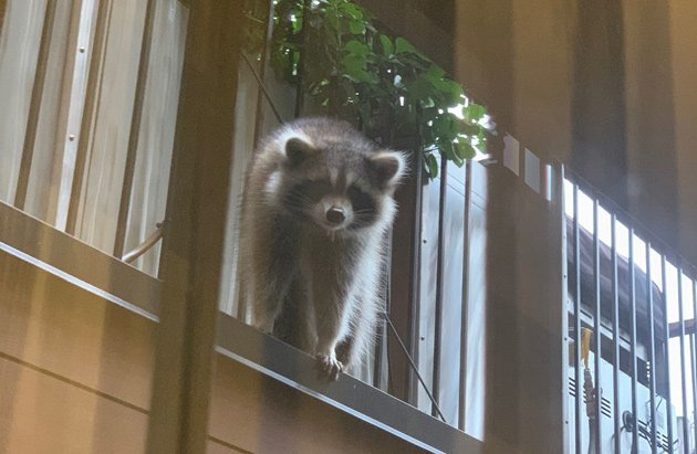 Raccoon in the South End