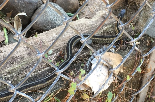 A snake in Jamaica Plain