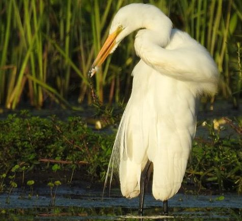 Egret stretches its neck at Millennium Park