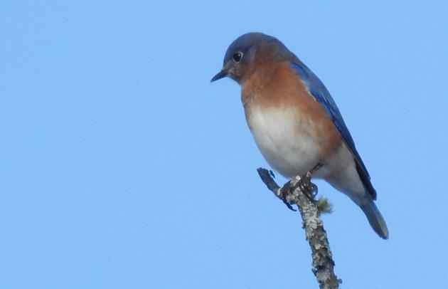 Bluebird at Millennium Park