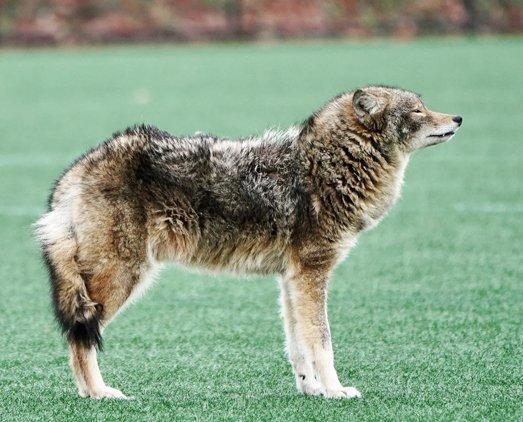 Bushy coyote