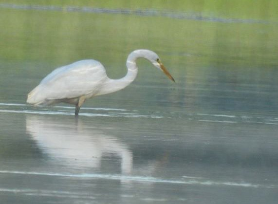 Egret on the Charles River