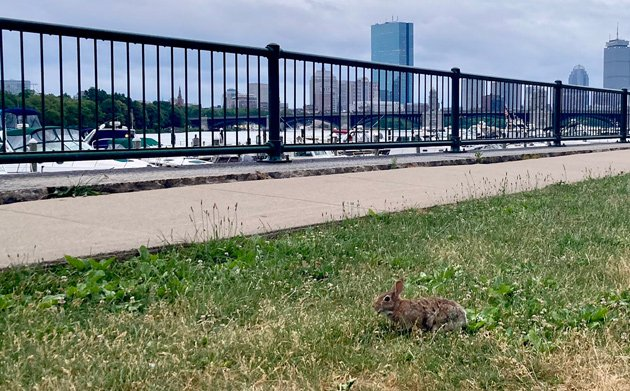 Rabbit on the Esplanade