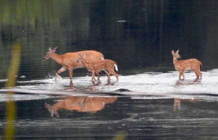 Deer in the Charles River