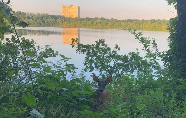 Deer at Fresh Pond in Cambridge