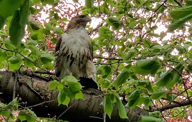 Hawk with lunch in the Public Garden