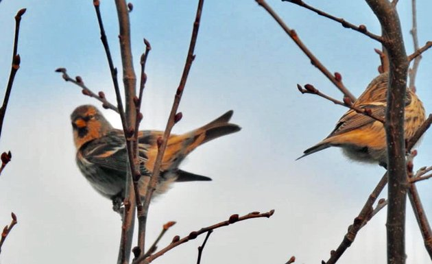 Redpolls at Millennium Park in West Roxbury