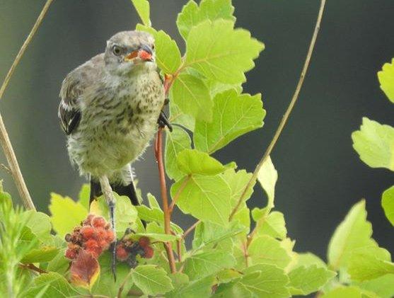 Juvenile mockinbird