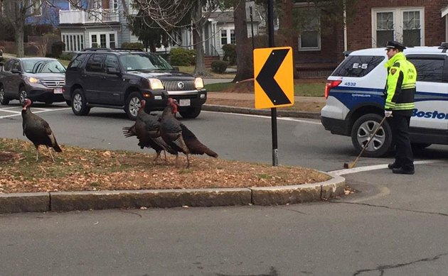 Cop with hockey stick going after turkeys