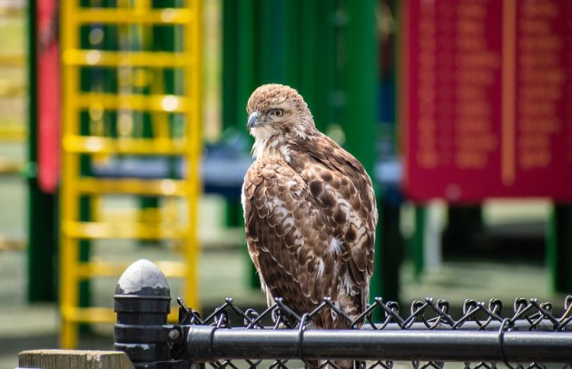 Hawk at a Franklin Park playground