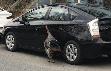 Turkey pecks a Prius in Cambridge