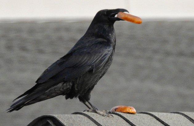 Raven eating a bagel