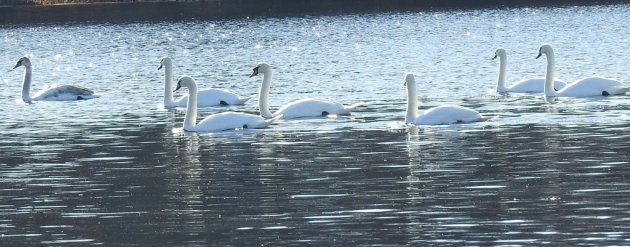 Swans in the Charles River