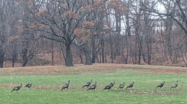Lot of turkeys in Franklin Park