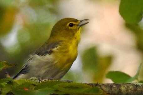 Yellow-throated vireo at Millennium Park in West Roxbury