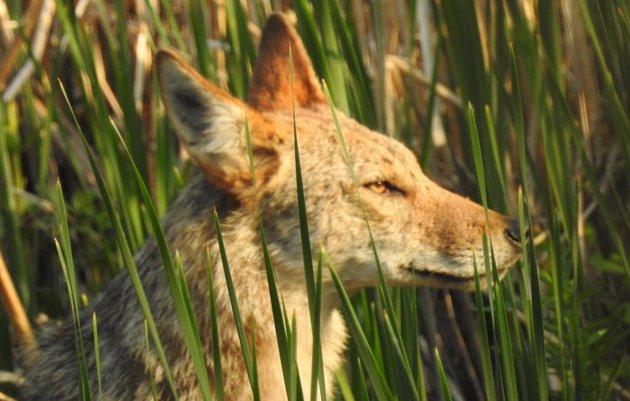 Coyote at Millennium Park