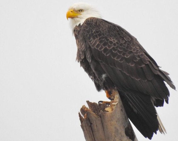 Bald Eagle along the Charles