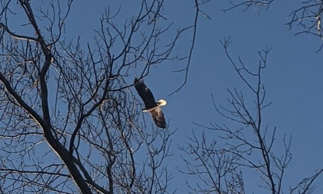 Bald eagle in the Back Bay