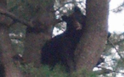 Bear in Brookline